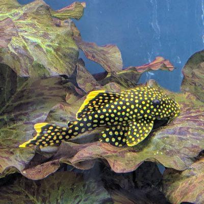 Plecostomus / Snail